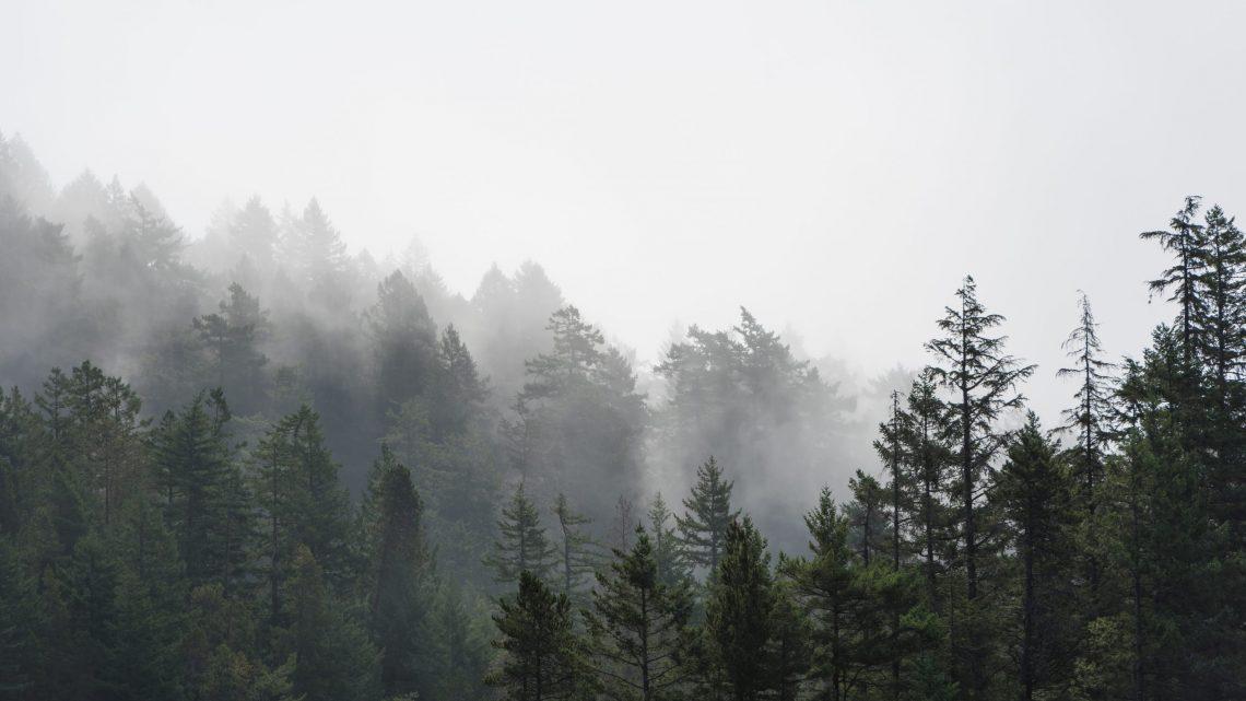 foggy evergreen trees